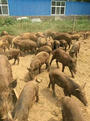 河南省洛阳市伊川县野猪苗 预售小野猪仔