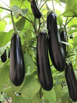 山东省潍坊市寿光市茄子种子  杂交种 ≥90% 茄550绿萼长茄