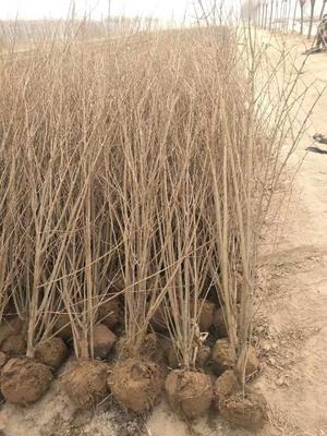山东省泰安市岱岳区造型石榴树