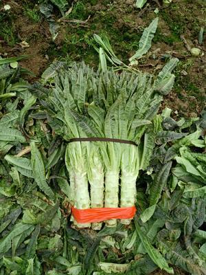 安徽省宿州市埇桥区红叶香莴苣 2斤以上 40-50cm