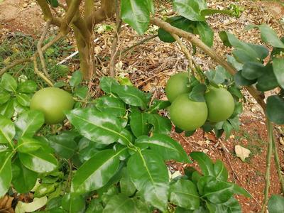 海南省海南省东方市红心柚 2斤以上