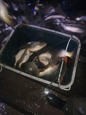 湖南省常德市武陵区河鲤鱼 人工养殖 0.5-2.5公斤