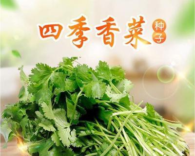 江西省南昌市南昌县香菜种子
