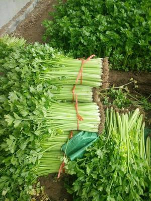 山东省临沂市沂水县西芹 55~60cm 0.5~1.0斤 大棚种植