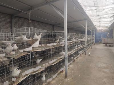 新疆维吾尔自治区阿克苏地区温宿县肉鸽 400-500克