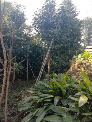 四川省成都市蒲江县茶花树 140cm以上
