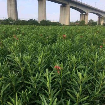 浙江省杭州市萧山区夹竹桃 1.5~2米 2公分以下 2公分以下