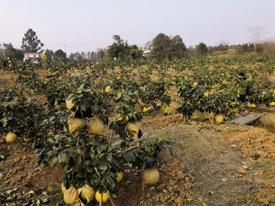 四川省成都市双流县矮晚柚 2.5斤以上