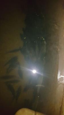 山东省烟台市莱山区淡水石斑 人工殖养 6公斤以上