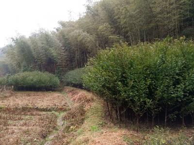 湖南省怀化市靖州苗族侗族自治县南方红豆杉 1~1.5米