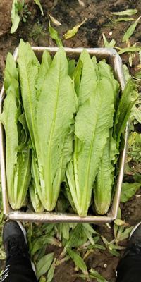 河北省邯郸市丛台区美冠油麦菜 30~35cm