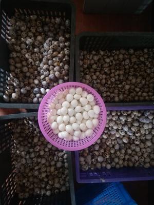 江苏省扬州市广陵区土鹌鹑蛋 食用 箱装
