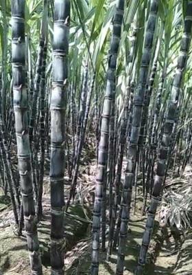 广西壮族自治区南宁市江南区黑皮甘蔗 2 - 3cm 1 - 1.5m