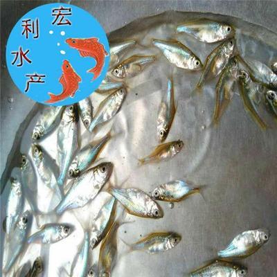 广东省广州市花都区三角鲂 人工养殖 0.5公斤以下