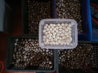 江苏省扬州市广陵区土鹌鹑蛋 食用 散装