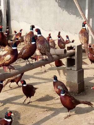 浙江省宁波市鄞州区七彩山鸡 3-4斤