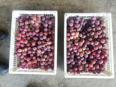 新疆维吾尔自治区乌鲁木齐市乌鲁木齐县红提 2斤以上 10%以下 1次果
