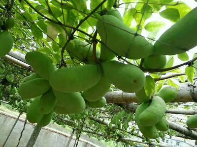 贵州省毕节市七星关区紫色一号八月瓜 120-130g 种植
