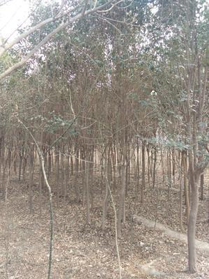 陕西省咸阳市三原县小叶女贞造型树