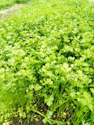 江苏省无锡市江阴市西芹 40~45cm 0.5斤以下 大棚种植