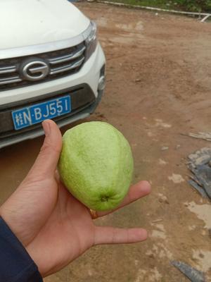 广西壮族自治区钦州市灵山县白心番石榴 150-200克