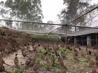 广西壮族自治区玉林市容县野山鸡 2-3斤