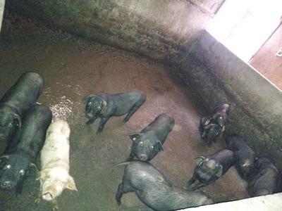 四川省巴中市巴州区土黑猪苗