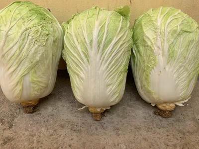 山东省威海市环翠区黄心大白菜 6~10斤 二毛菜