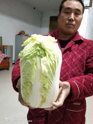 河南省商丘市夏邑县青杂三号白菜 通货 净菜