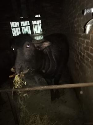湖北省荆州市松滋市水牛 800-1000斤 母牛