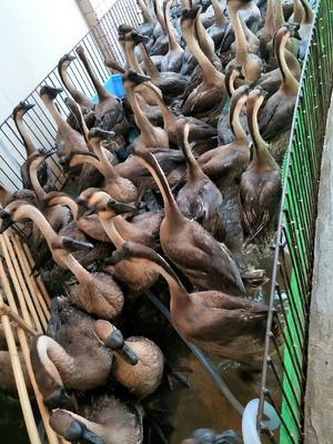 广东省佛山市南海区黑棕鹅 8-10斤 统货 半圈养半散养