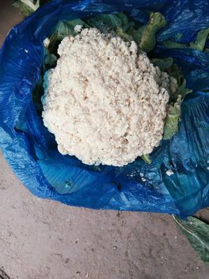山东省济南市章丘市白花菜花 适中 3~4斤