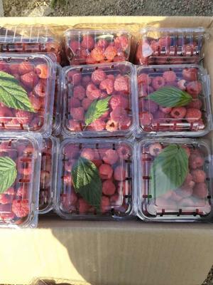 黑龙江省哈尔滨市宾县红树莓 冻果