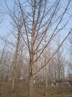 山东省临沂市兰陵县银杏实生树