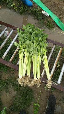 福建省泉州市惠安县法国皇后芹菜 50~55cm 0.5斤以下 露天种植