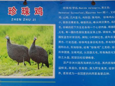 山东省济宁市嘉祥县灰色珍珠鸡 4-6斤