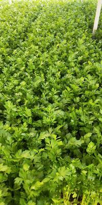 山东省潍坊市高密市西芹 45~50cm 0.5~1.0斤 大棚种植