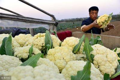 陕西省汉中市洋县白花菜花 紧密 1~2斤