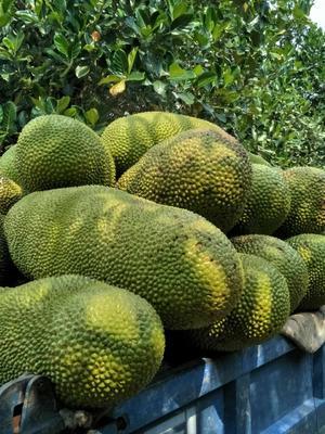 河南省平顶山市卫东区海南菠萝蜜 15斤以上