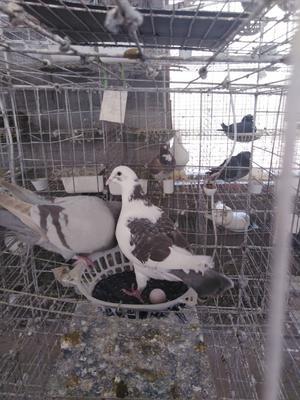 山东省菏泽市郓城县肉鸽 1000-1200克