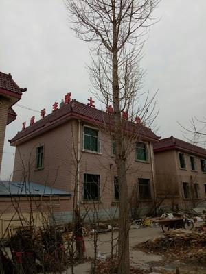 河南省郑州市金水区银杏实生树