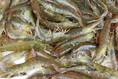 江西省吉安市吉州区冻虾