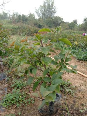 广西壮族自治区崇左市龙州县水红三角梅 0.5~1.0米