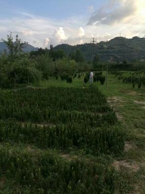 陕西省宝鸡市凤县曼地亚红豆杉 1.5~2米