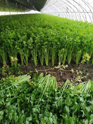 河南省开封市祥符区金口芹菜 60cm以上 2.0~2.5斤 大棚种植