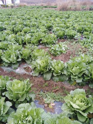 贵州省安顺市西秀区矮白菜 1斤以下 净菜
