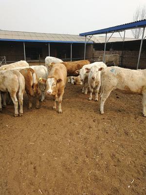 山西省忻州市定襄县夏洛莱牛 400-600斤 母牛