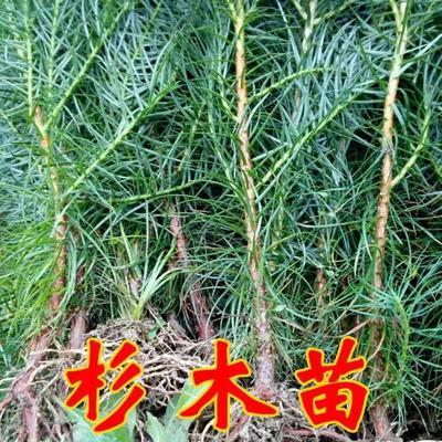 广西壮族自治区贵港市桂平市杉木树苗