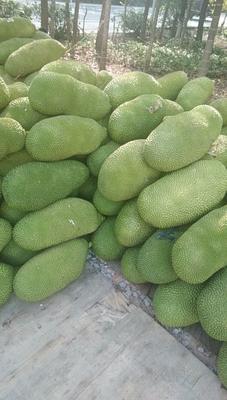 海南省海口市琼山区海南菠萝蜜  15斤以上 全部都是一手货。