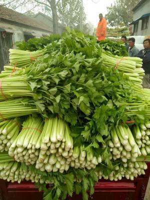 山东省济宁市金乡县西芹 45~50cm 0.5斤以下 大棚种植
